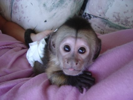 Male and Female Capuchin Monkeys