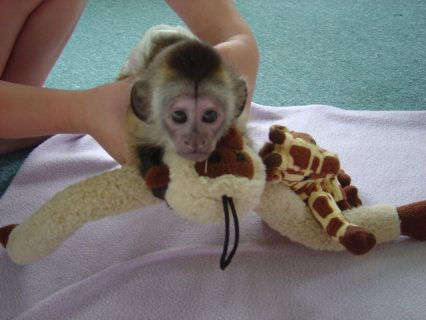 Small Capuchin Monkey   monkey is 12 weeks old now. Capuchin are