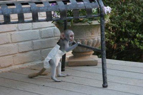 Marvelous Capuchin Monkeys for Sale   Capuchin monkeys. Top qual