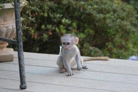صور  Tamed Capuchin Monkeys   Can make a good and lovely members of  1