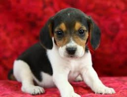 Stunning Beagle Pups Available For Adoption
