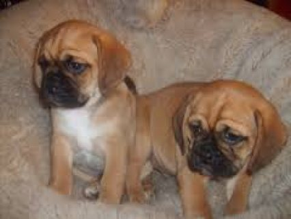 astonishing Male and Female Puggles Puppies for Re-homing.