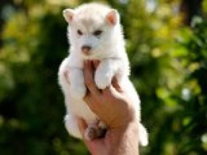 Golden females Siberian Husky for adoption American pedigree!