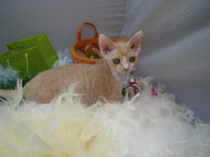 صور Devon Rex kittens for Adoption 1