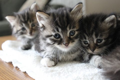 Male and Female Siberian Kittens,