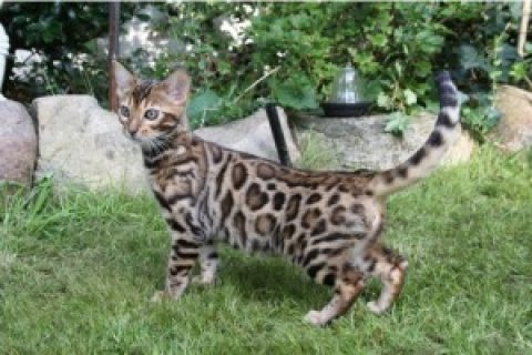Lovely Bengal Kittens for Re Homing