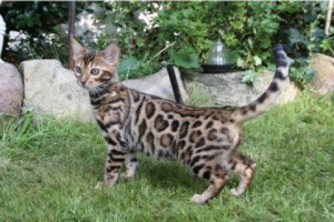 Lovely Bengal Kittens for Re Homing