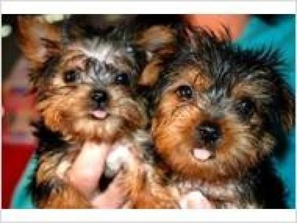 Yorkshire Terrier Puppy for Adoption - 10 Weeks Old