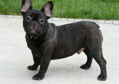sweet and nice french bulldog puppies for sale