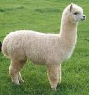 Healthy alpaca Ready to join a new family
