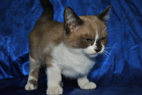 Burmese cross Ragdoll kittens