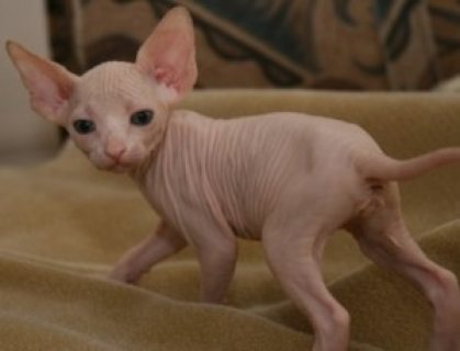 Hairless Sphynx Kittens for Adoption