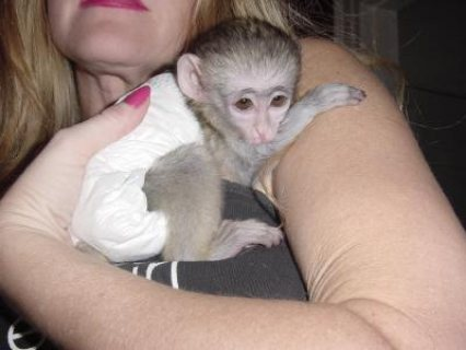 صور Beautiful home raised Capuchin monkeys 1