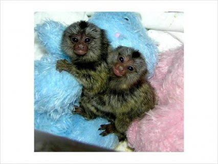 صور Marmoset Monkeys for Adoption 1