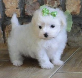 صور Champion teacup Maltese  puppies males and females for sale. 1