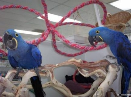صور wonderful BLUE Diamond Parrots male and female for sale 1