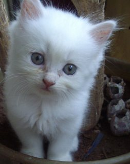 صور Cute Male and Female Persian Kittens For Rehoming 1