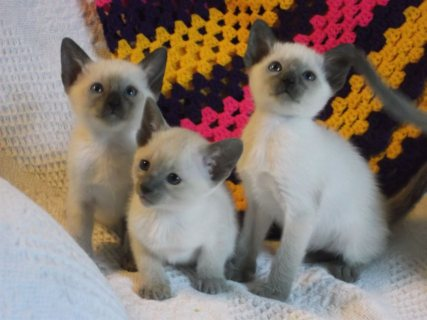 2 Siamese Kittens for sale Six beautiful kittens For Rehoming