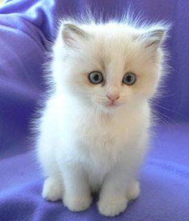 2 Male And Female Ragdoll Kittens For New Home