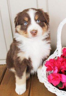 Australian Shepherd Puppies For Re-Homing-