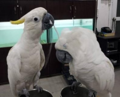 Cockatoo parrots male and female for sale 2