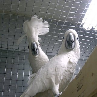 Umbrella Cockatoo birds available for sale