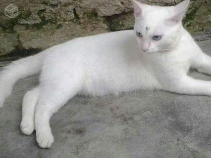 قطتين تركي أناث الاولى لون أبيض ثلجي صافي والثانية ابيض مع ذهبي