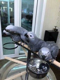 male and female african grey parrots for sale uk