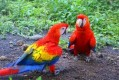 Talking Blue And Gold Macaw Parrots For New Homes