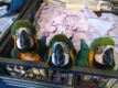 14months old/Well trained adorable Hyacinth Macaw Parrots