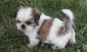 2 Shih Tzu Puppies for Xmas Presents