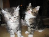 male and female Maine Coon Kittens for Adoption