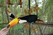 male and female Toco Toucans Pair!