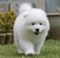 adoerble samoyed puppy for sale