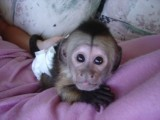 Cute Little Female Capuchin
