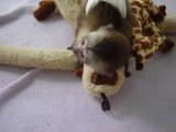 Gorgeous Female Capuchin Monkey