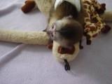 Gorgeous Female Capuchin Monkey