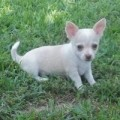 Adorable Chihuuahua Puppies Available