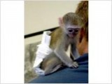 Hand RAISED BABY CAPUCHIN MONKEY FOR SALE