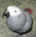 African grey for adoption