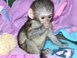 Cute Capuchin Monkeys for Adoption