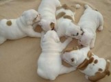 Bulldog puppies males and females for sale