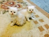Excellent Pedigree White Persian Kittens