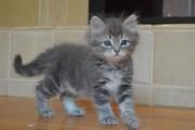 2 Siberian Kittens ready to go For Good Homes