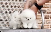 Luxury Pedigree Pomeranian For Sale.