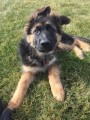 Genetic Tested German Shepherd Puppies
