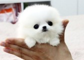 most beautiful looking puppy for sale