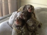 رائعتين القردة مارموريت للبيع