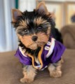 Tea cup yorkie puppies availabl